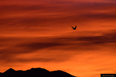 Fire in the sky. An early riser searching for morning feeding grounds.