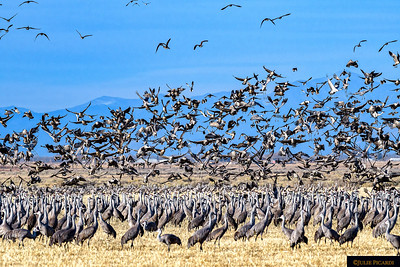 Cranes, cranes and more cranes! Once endangered, now thriving. The world's oldest surviving bird dating from the Pleistocene Era.