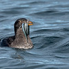Rhinoceros Auklet hunting for the next meal for the little ones back at the nest.