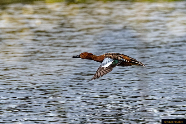 Cinnamon Teal Duck in flight - such beautiful colors.