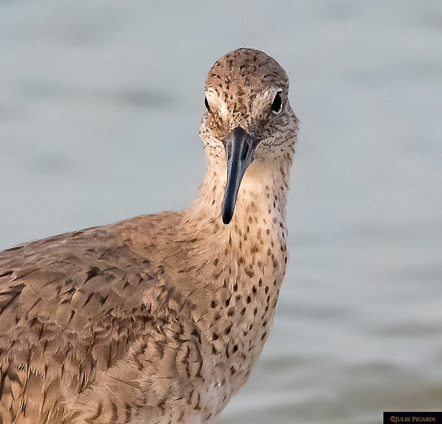 Full face portrait of a Willet.