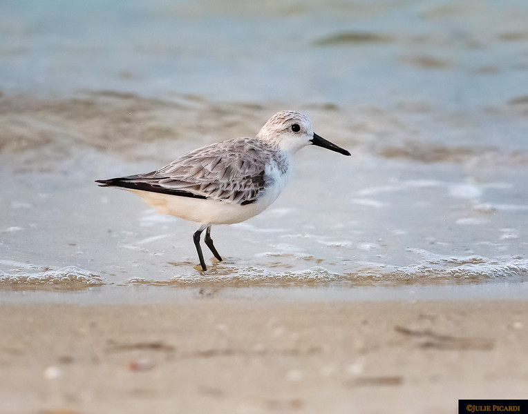 This little Sanderling is one of the smallest birds in the Sandpiper family.
