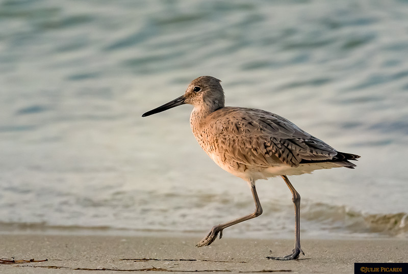 A Willet struts along the beach at Gulf Islands National Seashore.