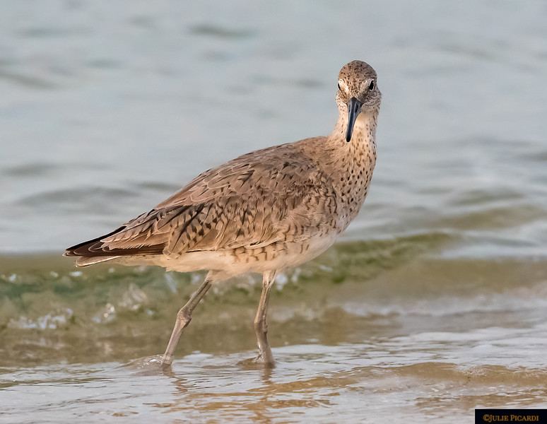 A Willet is among the largest of the Sandpipers.