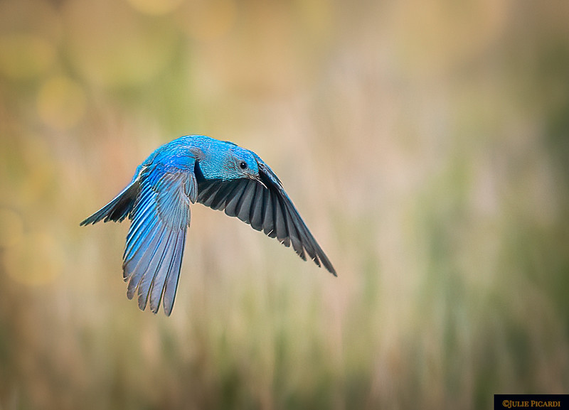 Mountain Blue Bird in Flight