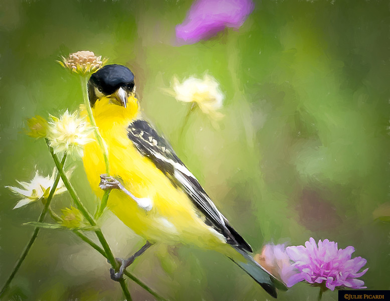 A Goldfinch  clings to a flower in my garden - Impressionistic
