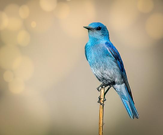 Mountain Blue Bird Posing on a Stem