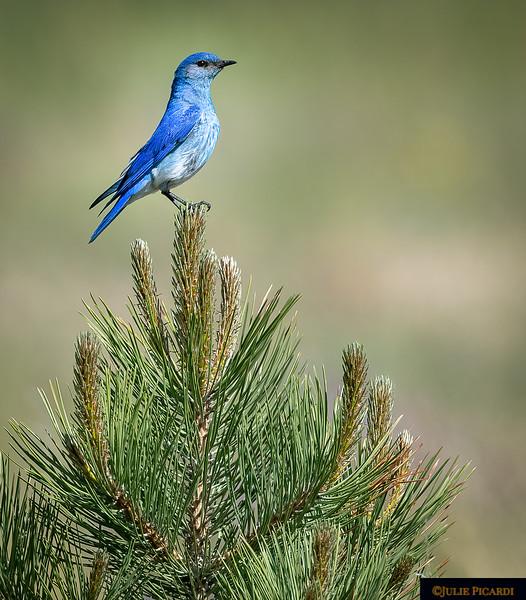 Proud Mountain Bluebird