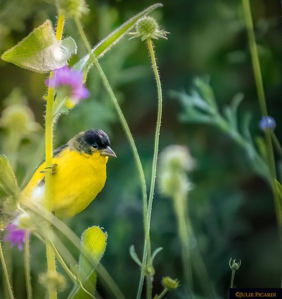 Goldfinch among flowers in my garden.