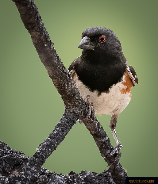 Front View of the Spotted Towhee