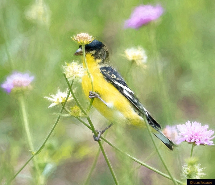 A Goldfinch  appears to hold a flower above his head as an umbrella - Impressionistic