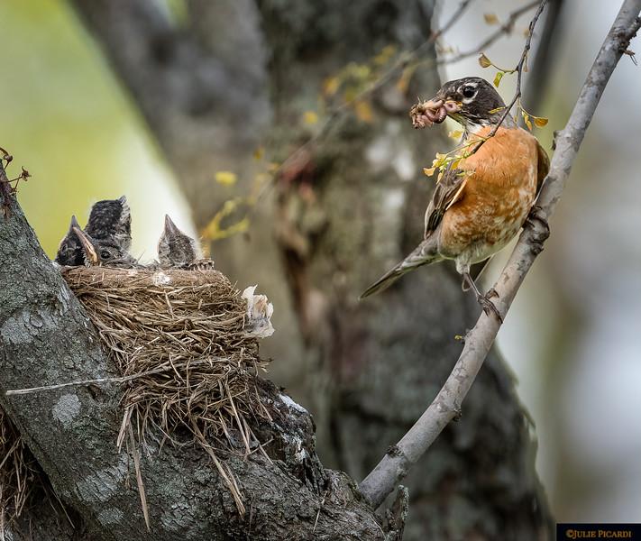 Female Robin Brings Home the Bacon