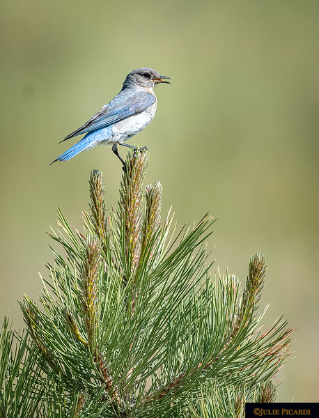 Female Mountain Bluebird Calls To Her Mate