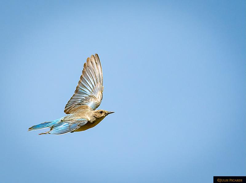 Female Mountain Bluebird In Flight
