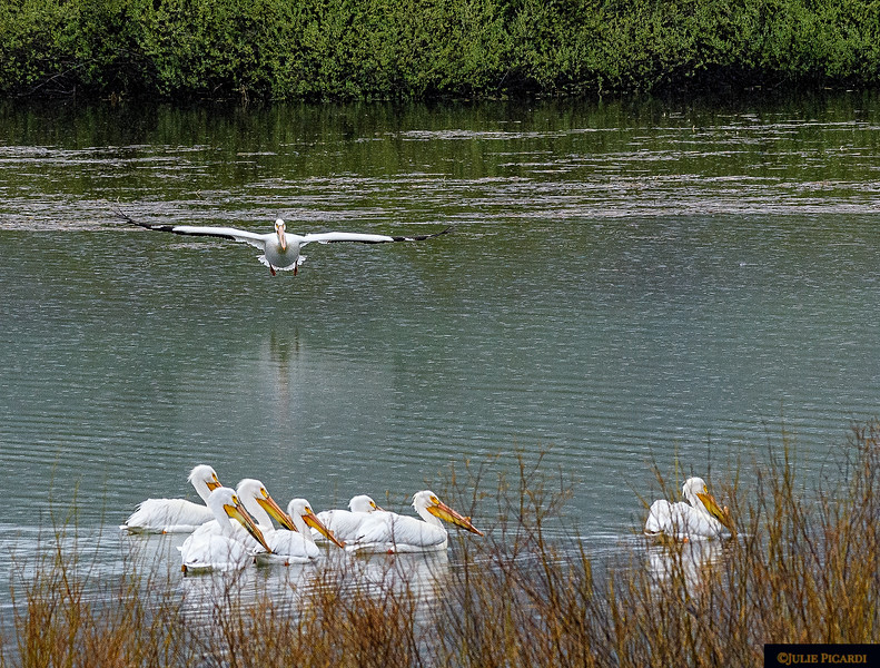 """""""You are cleared for landing"""". Oxbow Bend May 2018"""