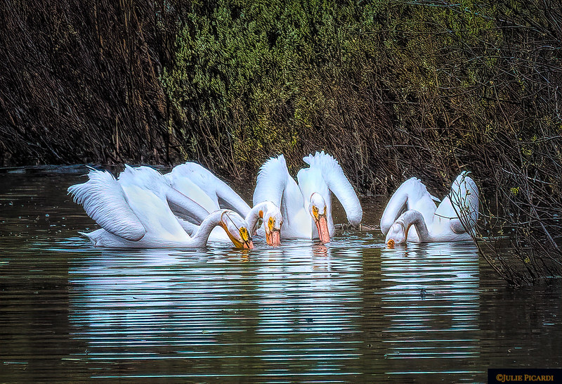 White pelicans often fish together in a cooperative fashion for best results. Oxbow Bend in Grand Teton National Park May 2018