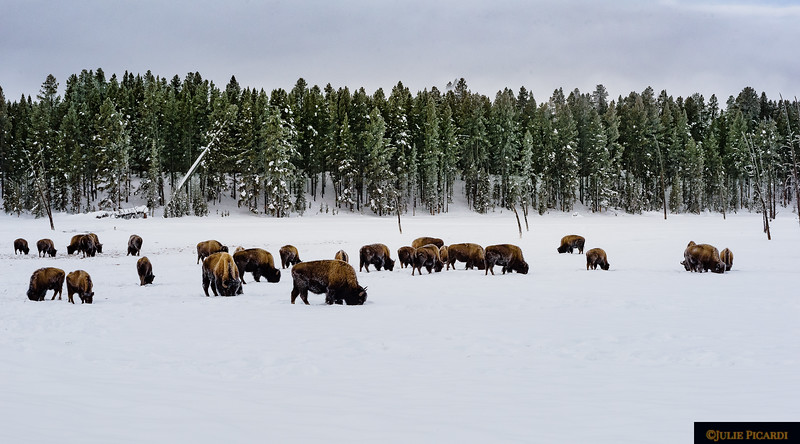 A herd of bison forage deep in the snow for grass.