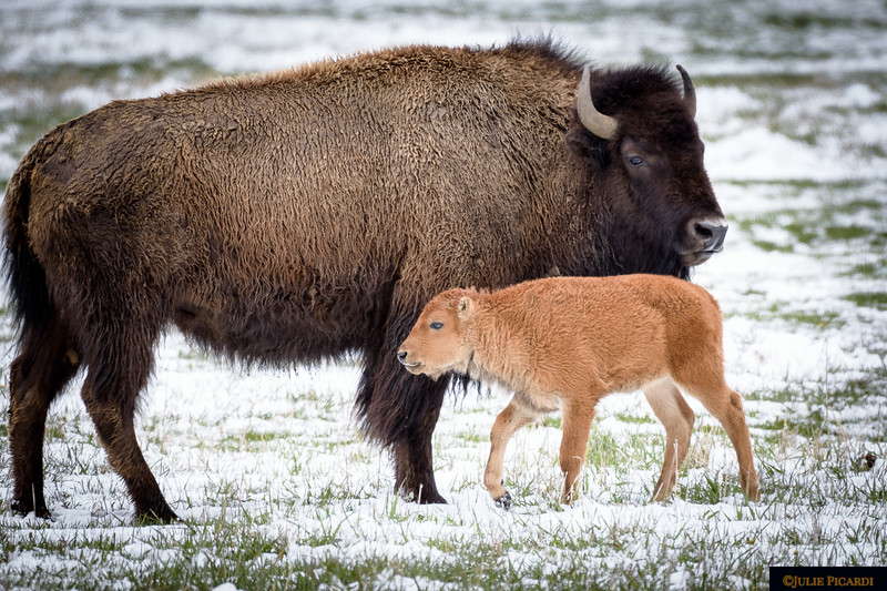 Wolves and bears are the greatest threats to the calves or older bison.