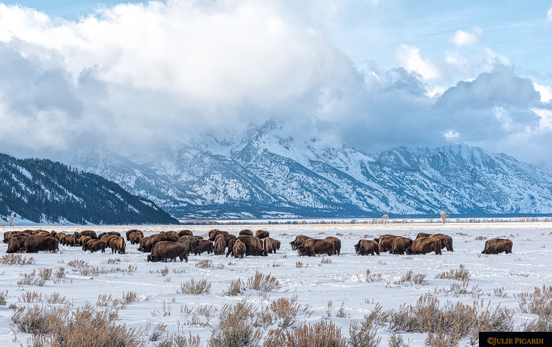 A herd of bison forage on sparse vegetation in front of the majestic Teton mountains.