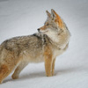 Coyote Looks Over his Shoulder