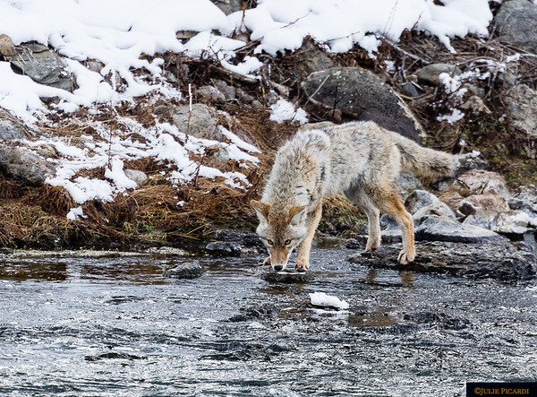 Fishing coyotes is a relatively new phenomenon.