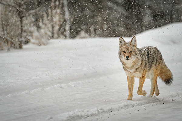 A Coyote Trots Down the Snowy Road in Yellowstone National Park