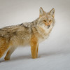 Impressionistic Coyote in the Snow