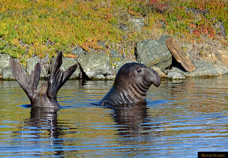 A young elephant seal showing off for his fans.