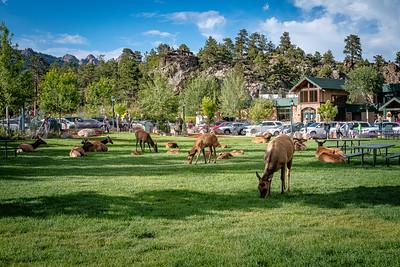 Elk Take Over the Village Green