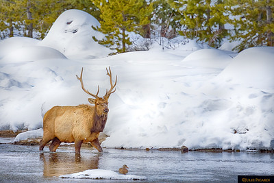 Bull elk forging through the Madison River in Yellowstone National Park