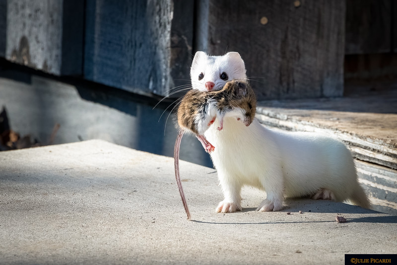 An Ermine with his prize