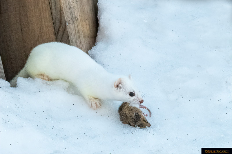 Stealthy Ermine