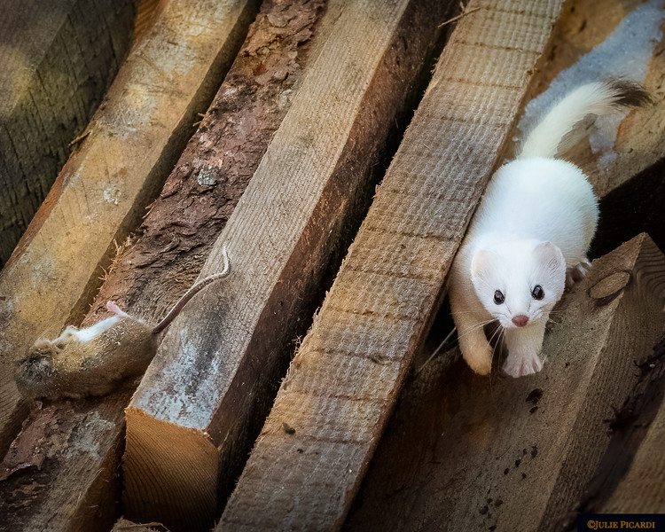 Ermine in the woodpile