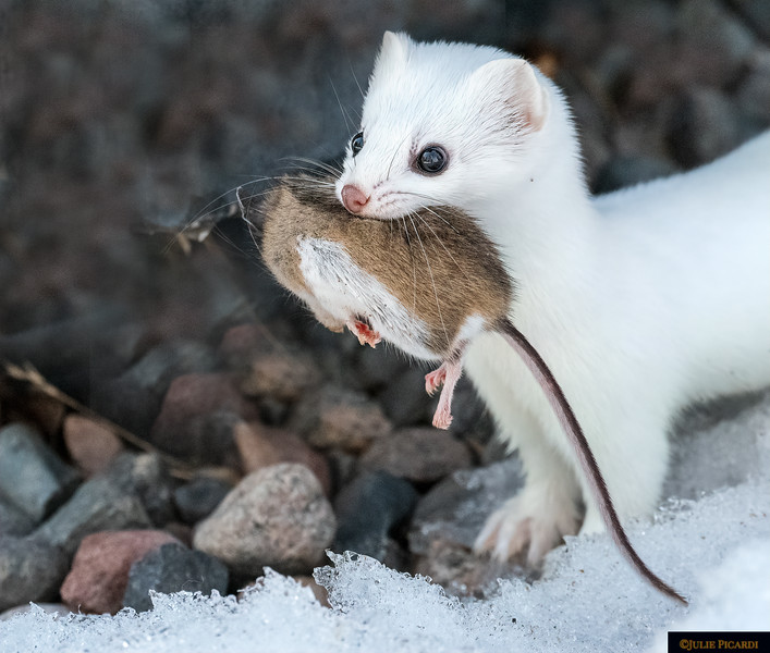 Hermine the Ermine with his prize mouse