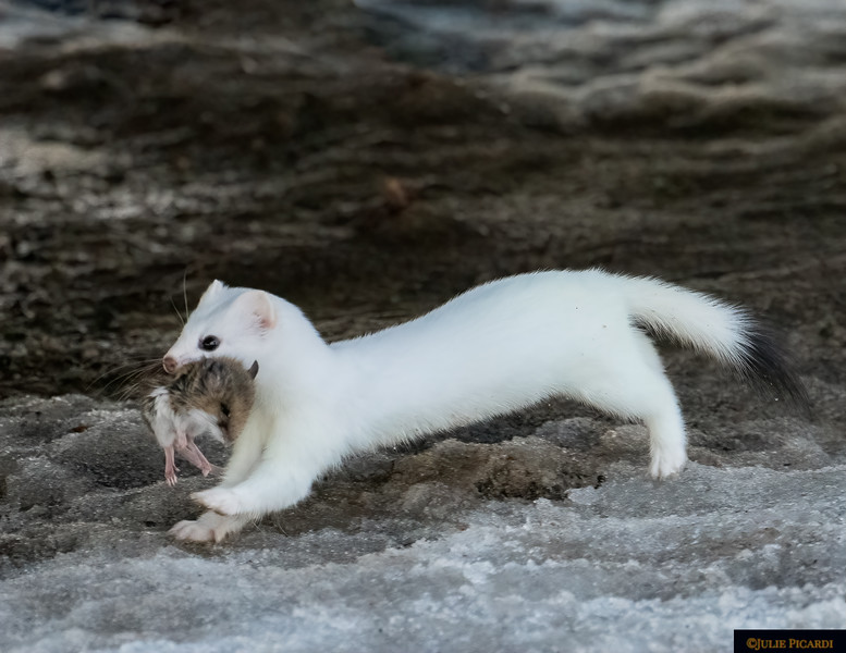 Ermine running with his mouse