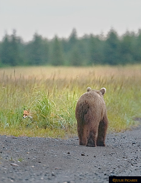 Fox playing hide and seek