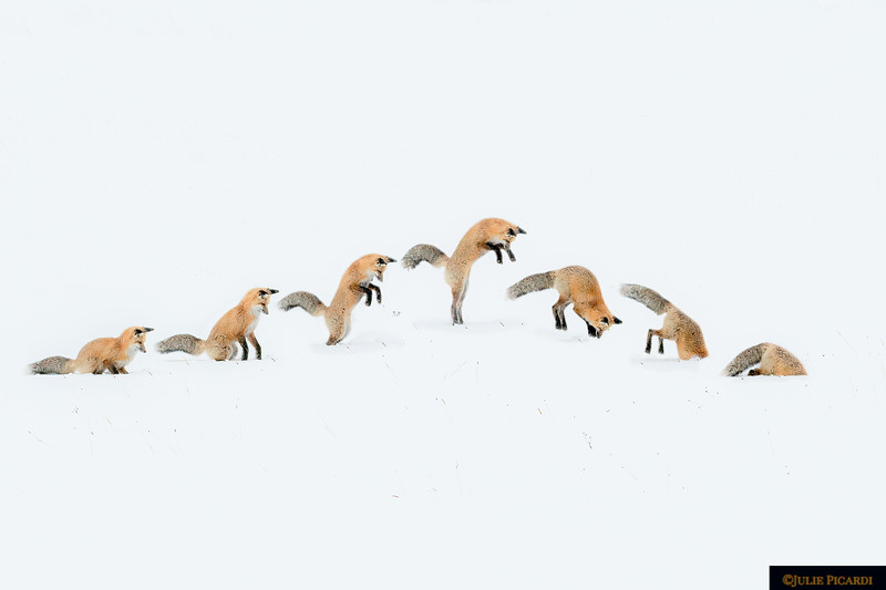 A Red Fox Hunts In Yellowstone National Park - Photo Sequence