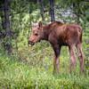 Closeup of Moose Calf