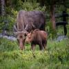 Closeup of Moose Cow and Calf