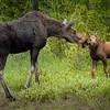Moose Kisses