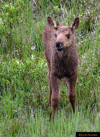 Very young moose calf playing beside the road in Rocky Mountain National Park as mom grazes nearby.