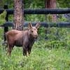 Young Moose Calf