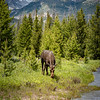 Moose Cow by the River