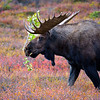 Big bull frustrated during the rut in Denali National Park.