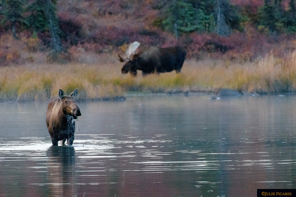 Moose cow feeding in Wonder Lake as a bull watches over her.