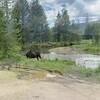 Moose in RMNP June 2020
