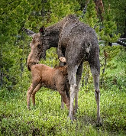 Moose Cow Nurses Baby