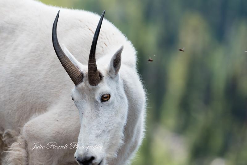 Portrait of a Nannie goat.