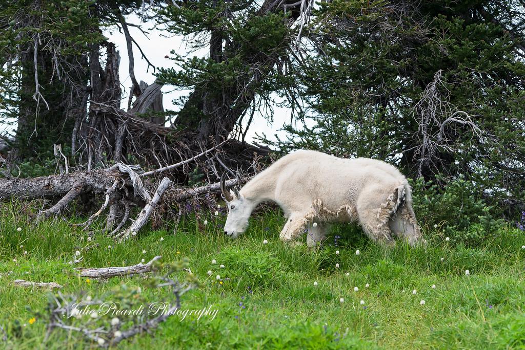 Mountain Nannie grazing.