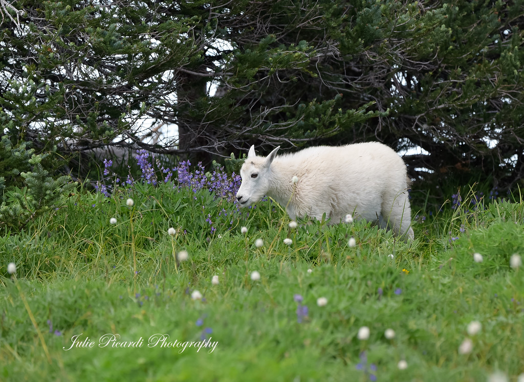 Mountain goat kid trailing behind his mama.